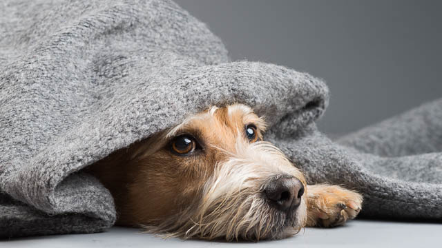 Koira sairastaa peiton alla