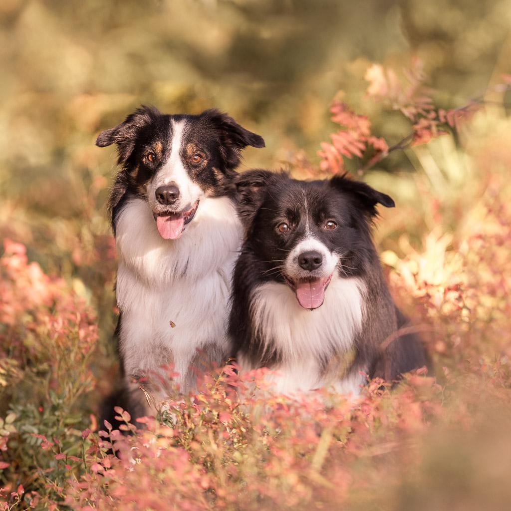 Laserterapia 2 koiraa